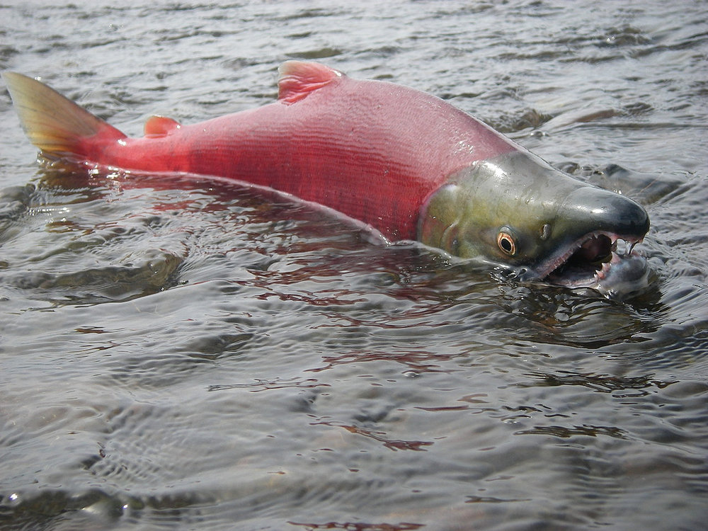 Adult sockeye salmon    Source:  Environmental Protection Agency