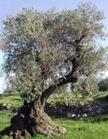 Olive Tree-1