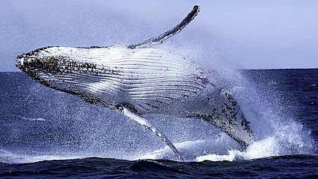 350247-whale-breaching.jpg