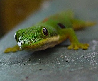 gecko-madagascar-main_Full.jpg