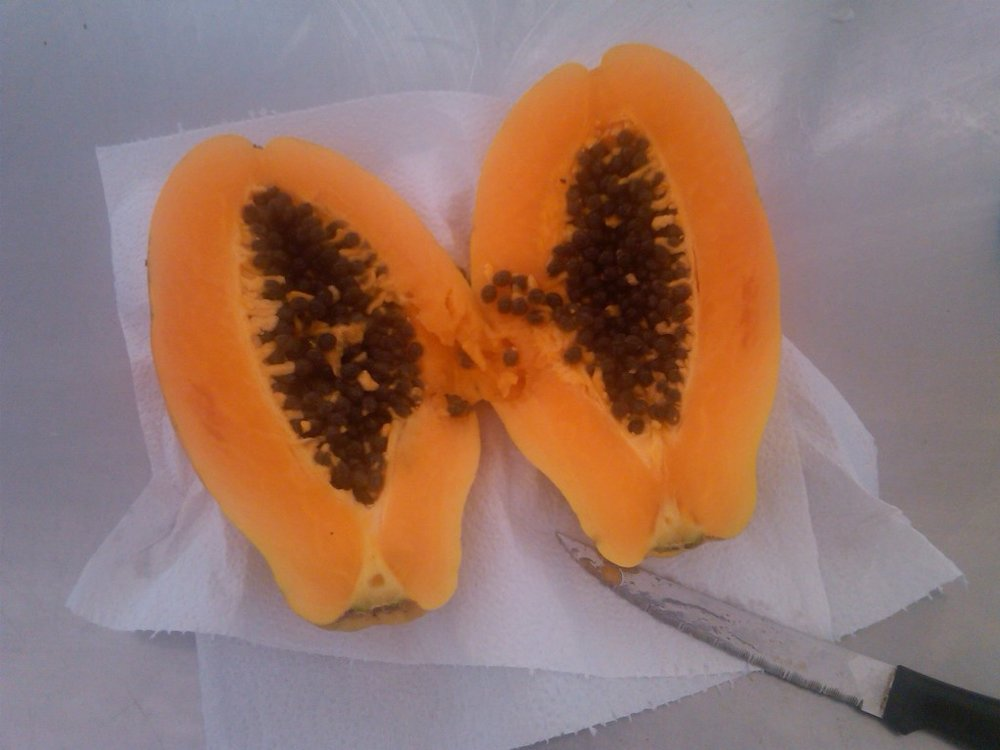Gorgeous organic papaya freshly picked from the tree
