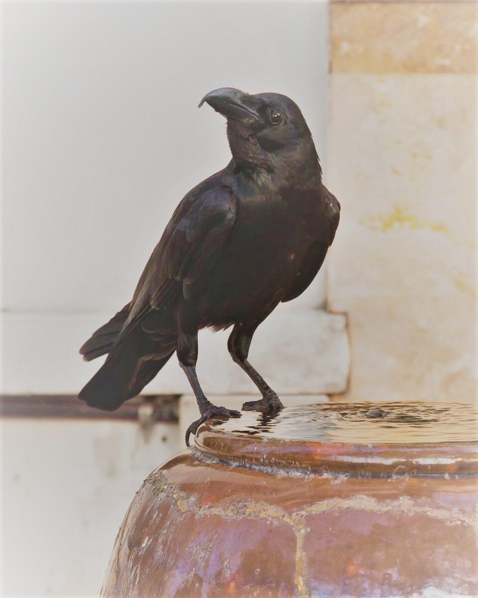 crow (2).jpg