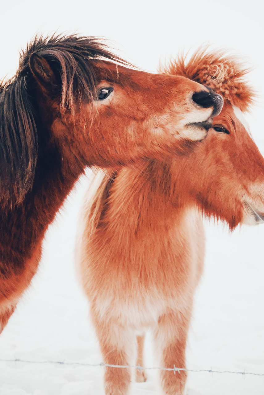 Icelandic Pony Love