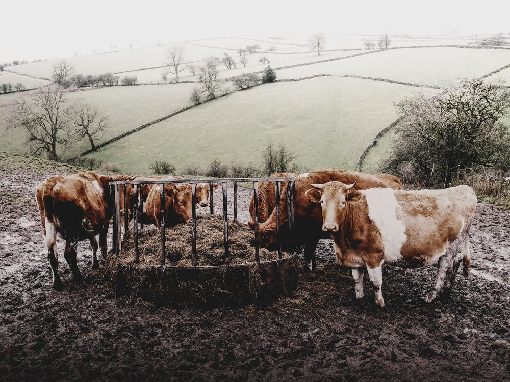 Muddy Cows at Lunch