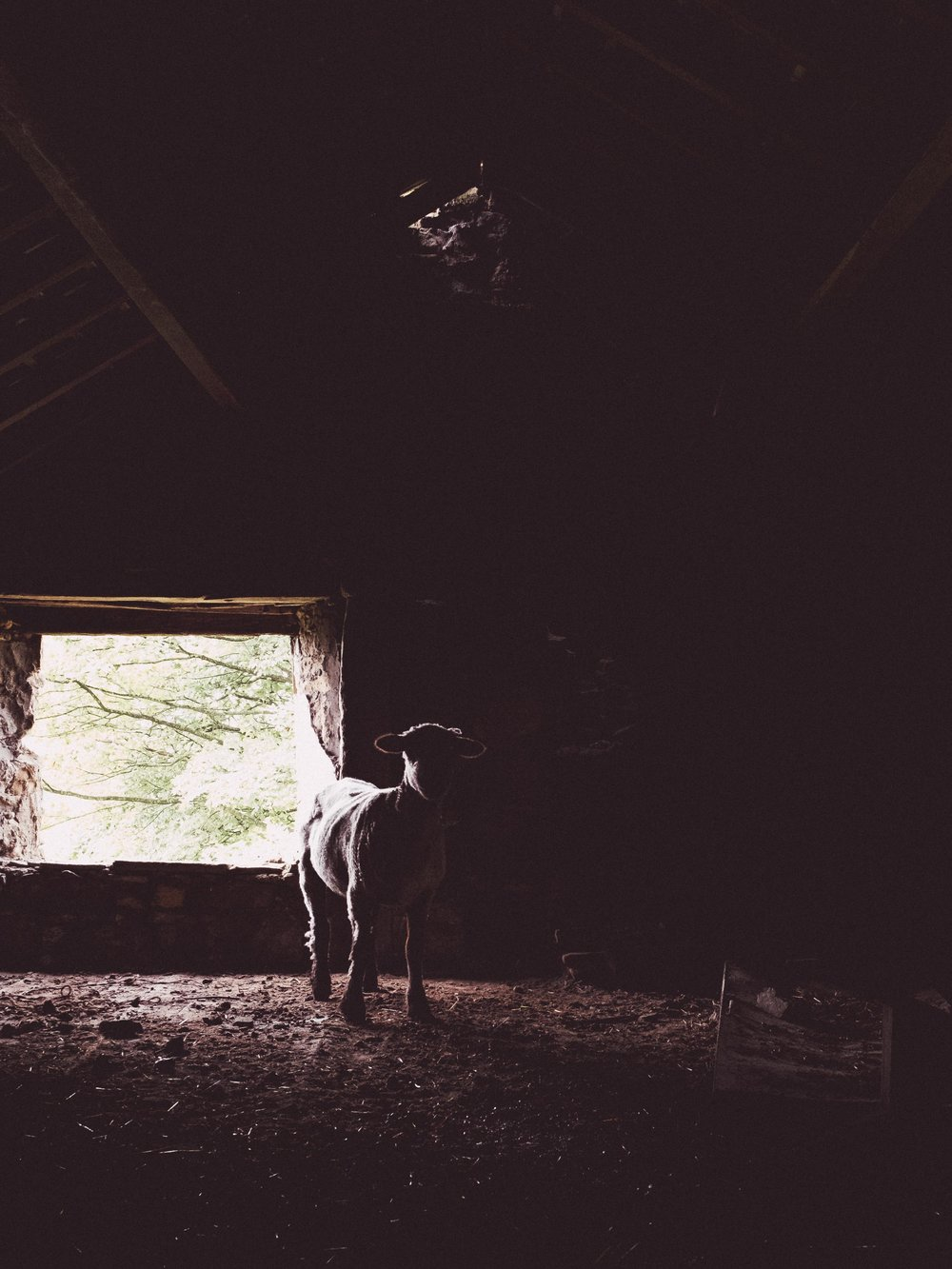 Mystery Sheep
