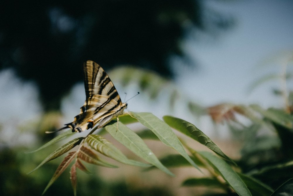 Spanish Swallowtail Butterfly