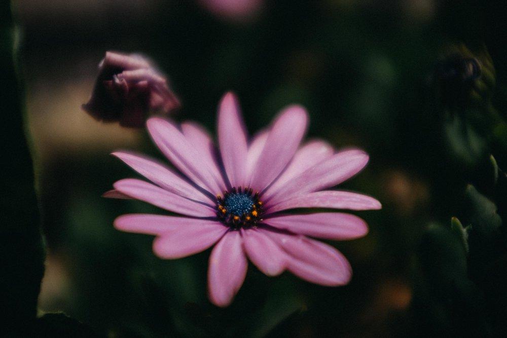 Spanish Daisy Flower