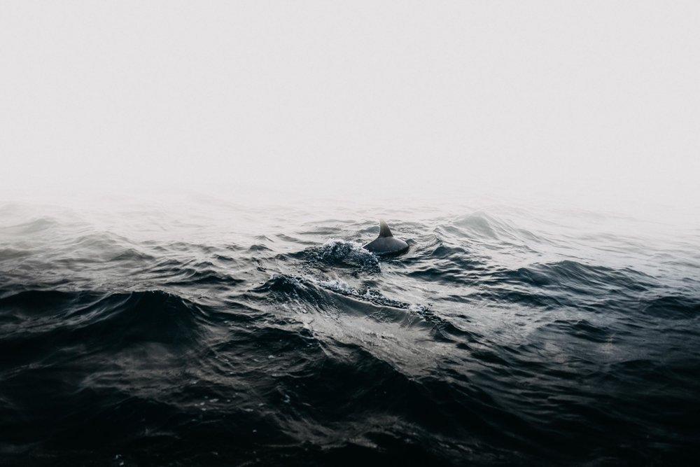 Common Dolphin, Golden Light