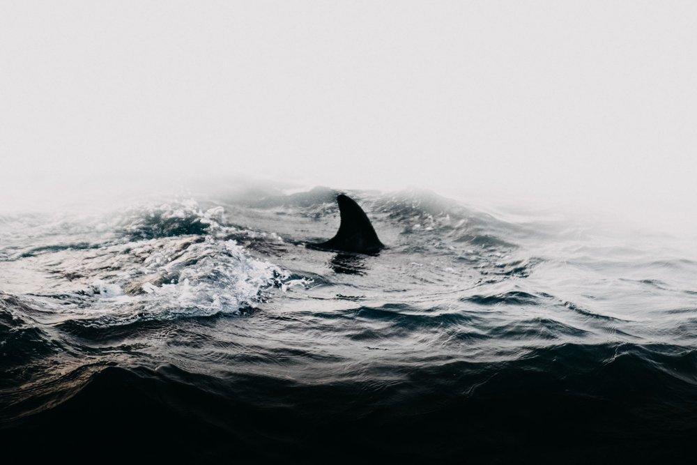 Common Dolphin Fin