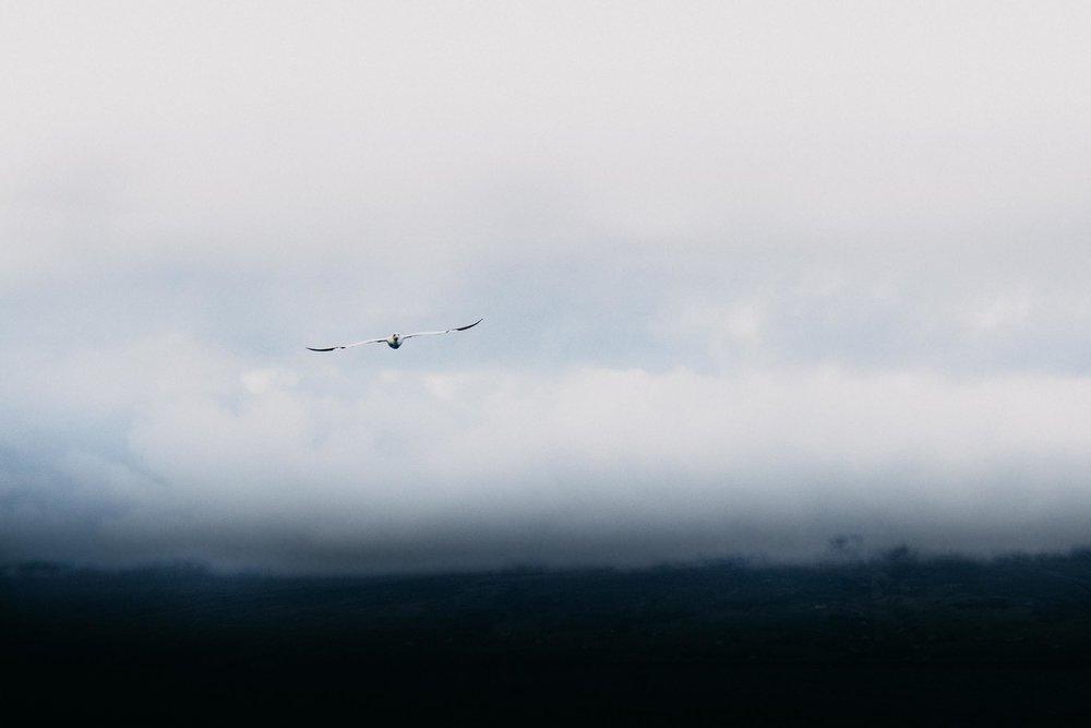 Gliding Gannet