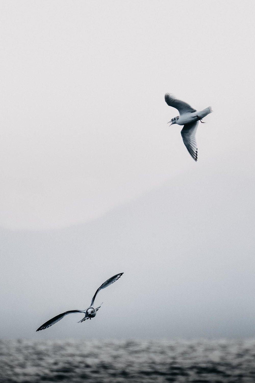 Circling Gulls