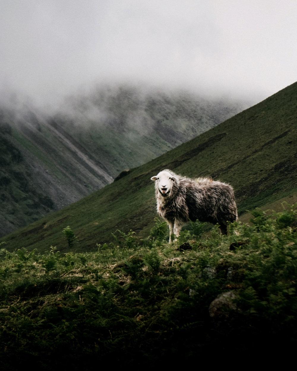 Shouting Sheep