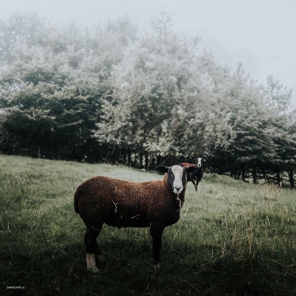 New Kinda Sheep