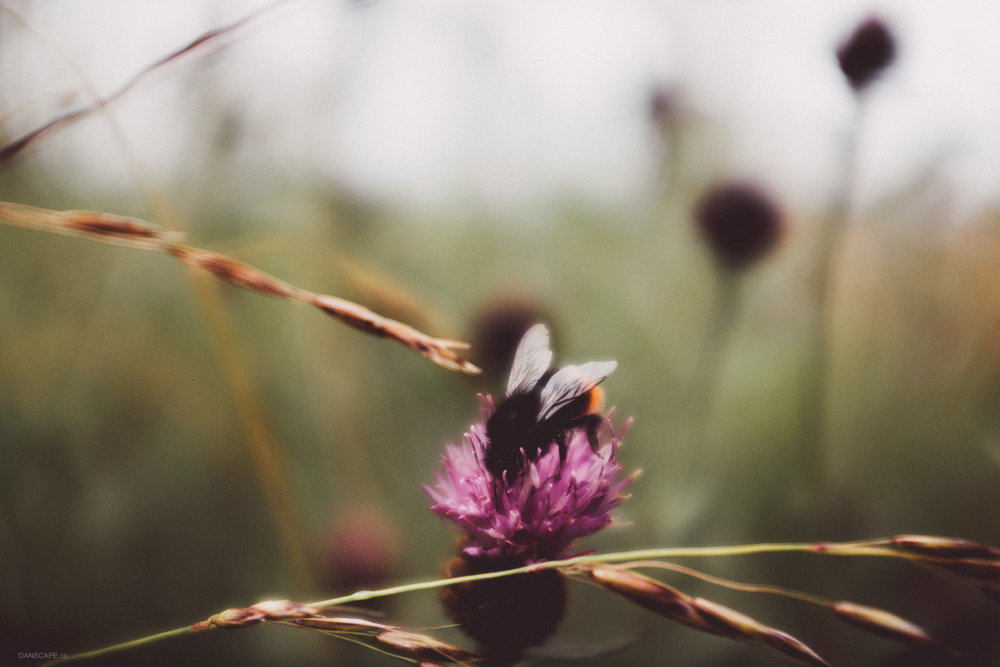A bee enjoying the summer on a Creeping Thistle.