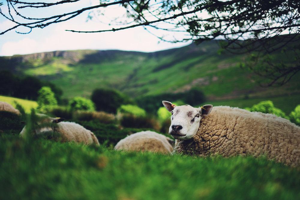 Hot Sheep