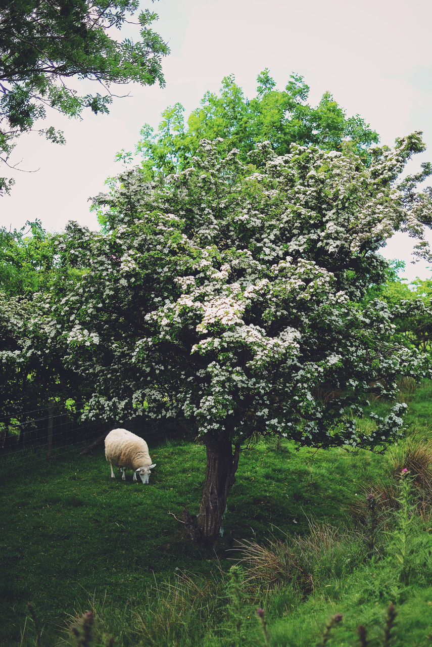 The Sheep & The Hawthorn