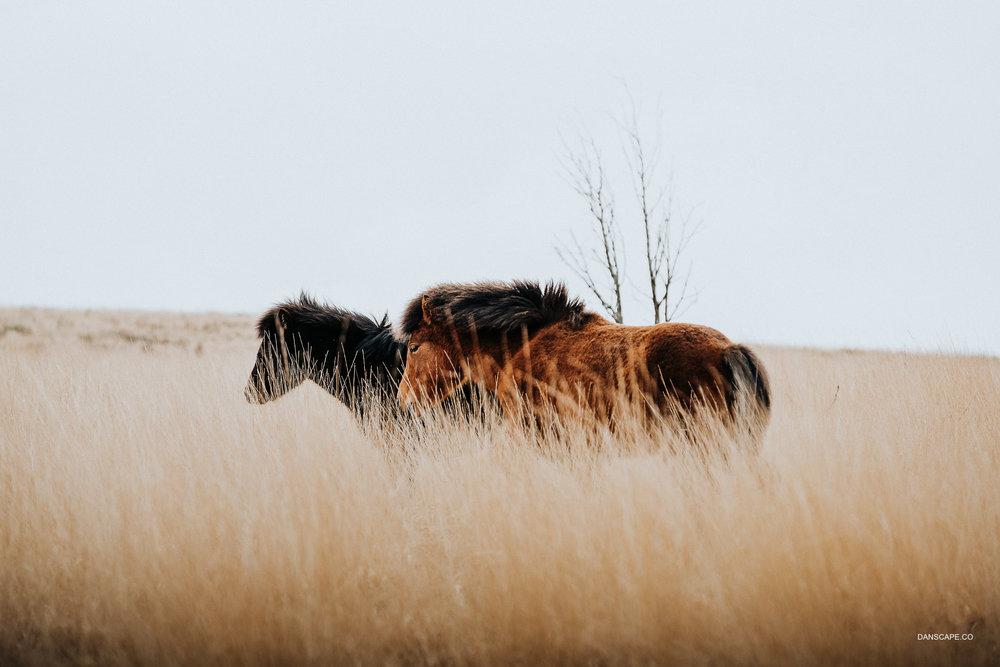 Dartmoor Ponies in The Grass