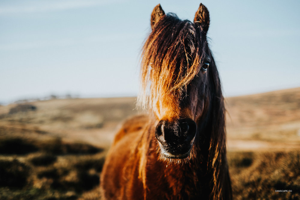Portrait of a Dartmoor Pony
