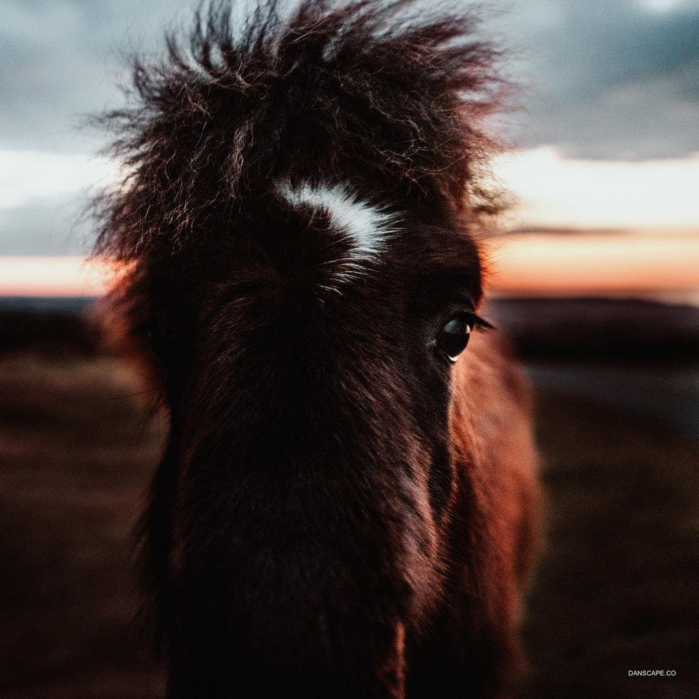 Dartmoor Pony at Sunrise