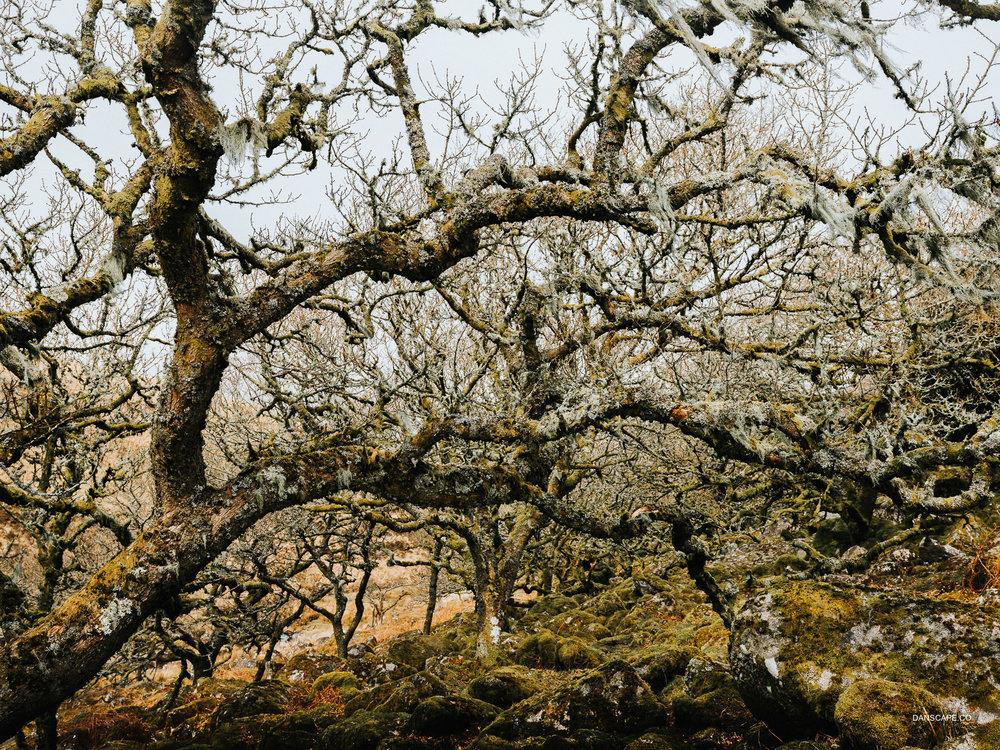 Winding Trees of Wistman's Wood