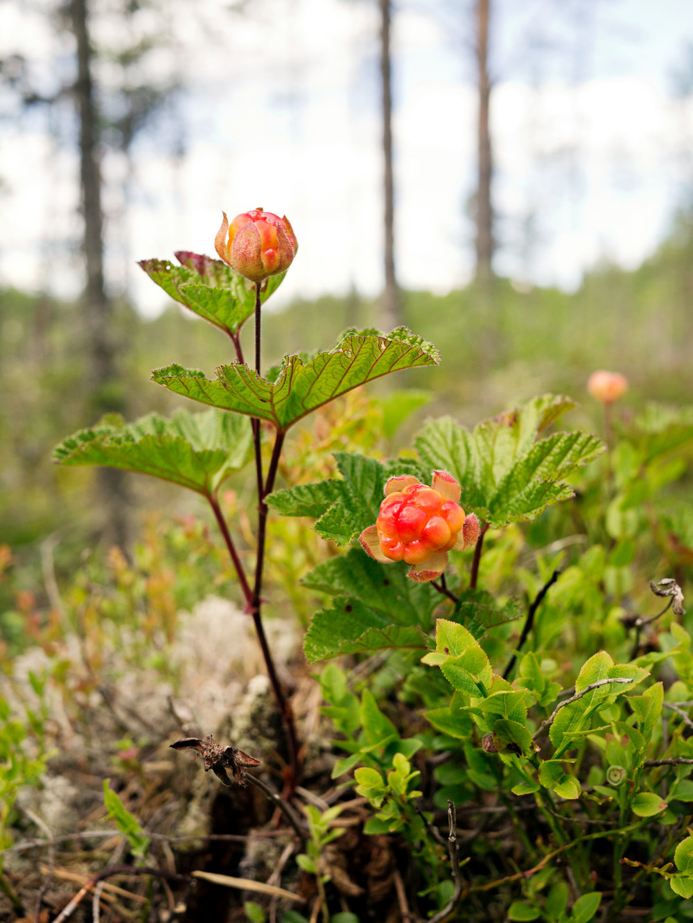 The north of Sweden is constantly in touch with nature: mushrooms, berries, fishes, reindeers and moose as a mean of survival - Photo: Sara Ingman / imagebank.sweden.se