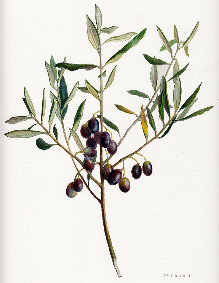 Olives on a branch  Watercolour on Fabriano paper 2016  Private collection