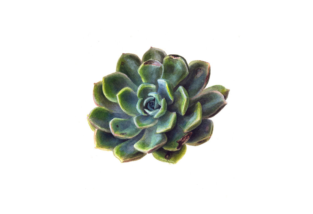 Echeveria elegans  Watercolour on Fabriano paper 2016   Available through  Chandler House