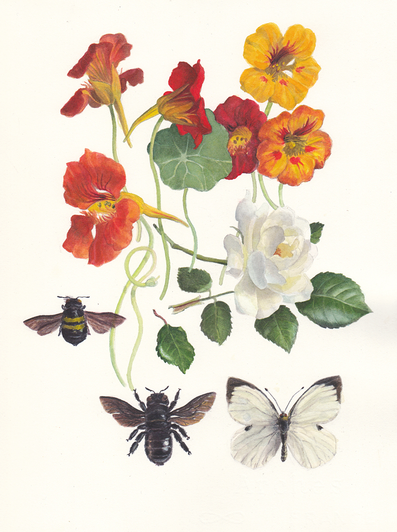 Study with Nastertiums, Rose, Insects   Watercolour on Fabriano paper 2012  Private collection