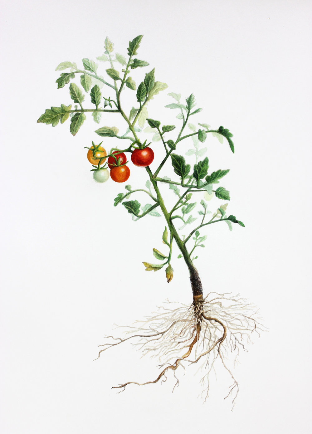 Solanum lycopersicum ( Cherry Tomato)  Watercolour on Fabriano paper 2012  available