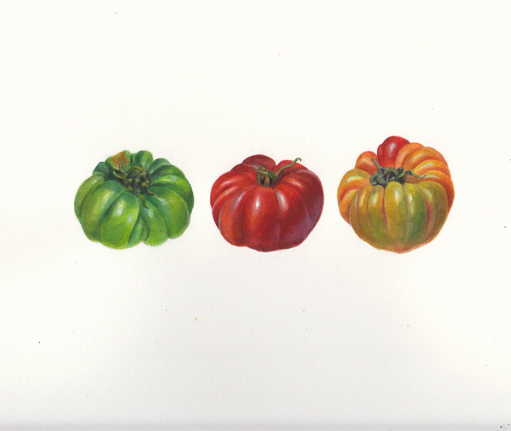 Italian Tomatoes   Watercolour on Archers paper 2014  Private collection