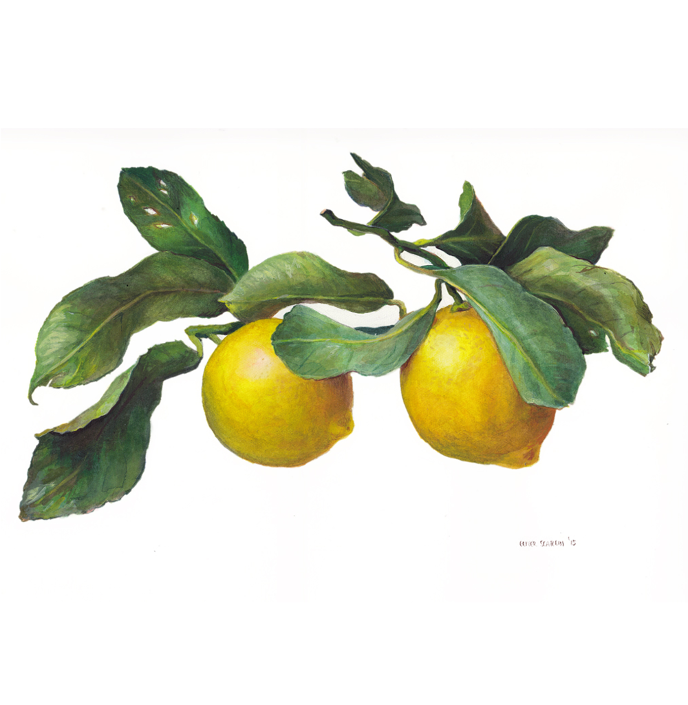 Lemons  Watercolour on Archers paper 2014   Available through  Chandler House
