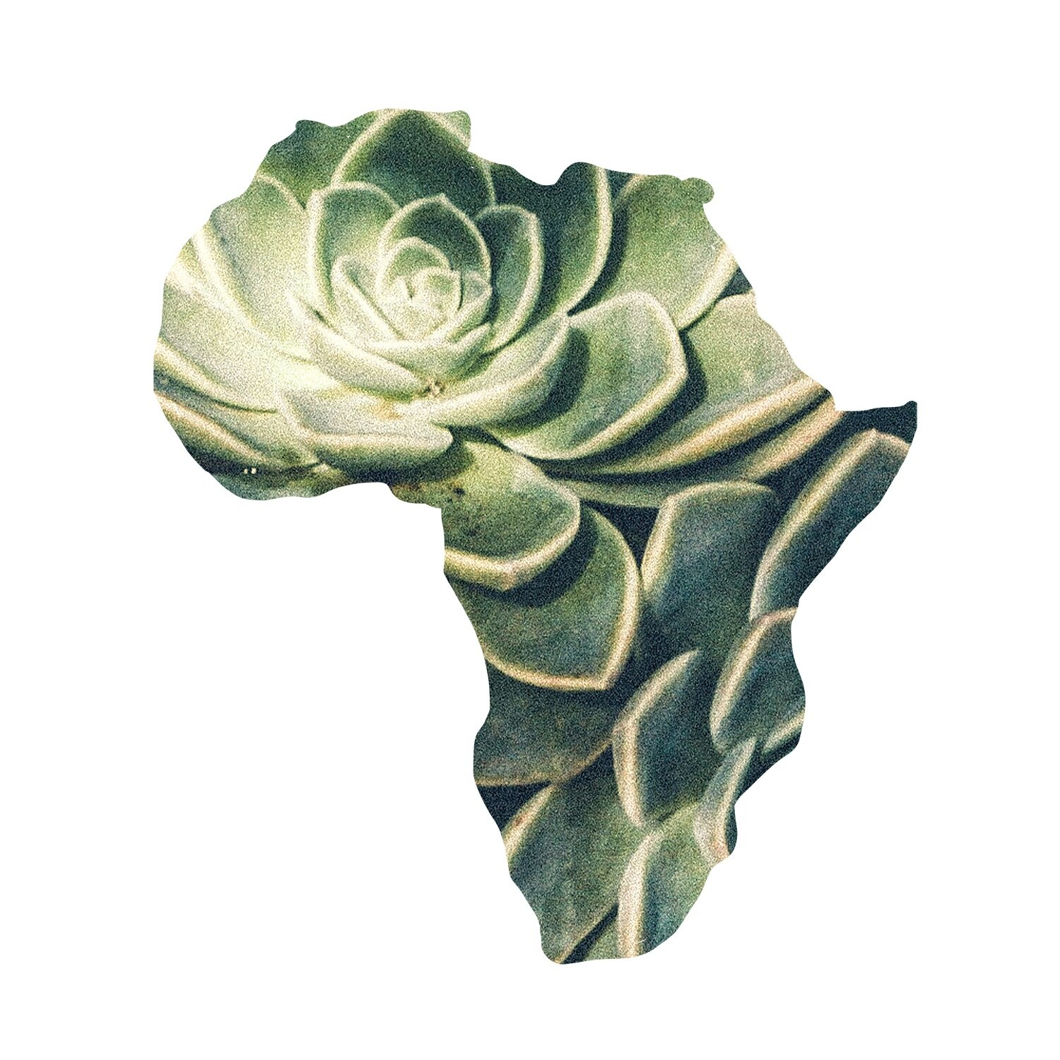 The African Rose