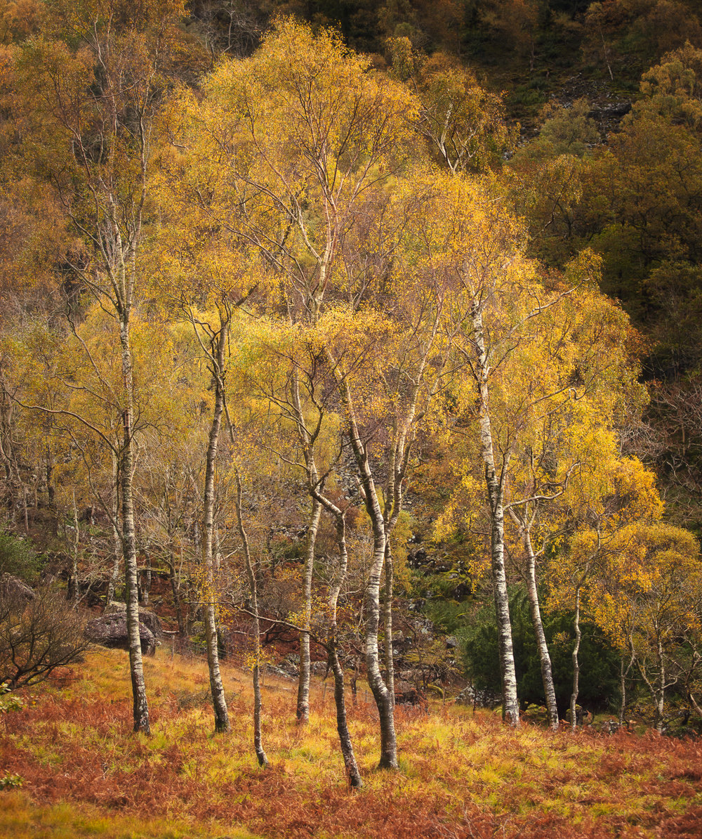 Bowder Birches