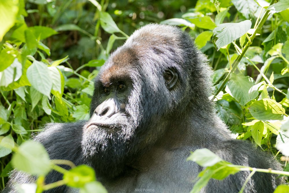 Virunga (D. R. of the Congo)