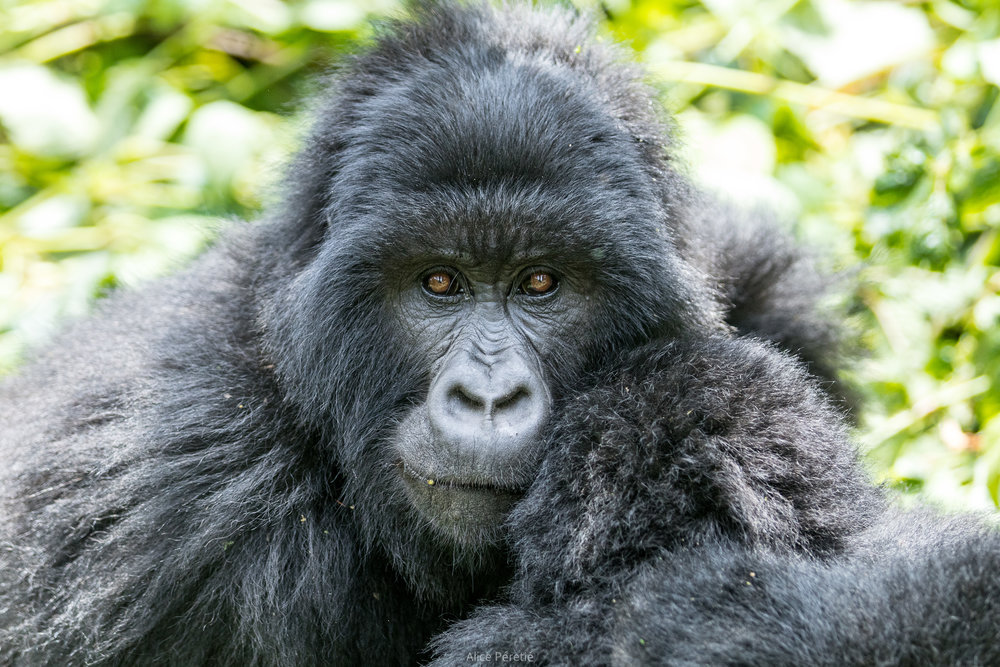 An humbling encounter, Virunga, DR Congo, August 2017