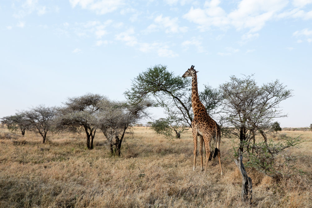 Young Maasai Giraffe in the Serengeti, Tanzania, September 2016