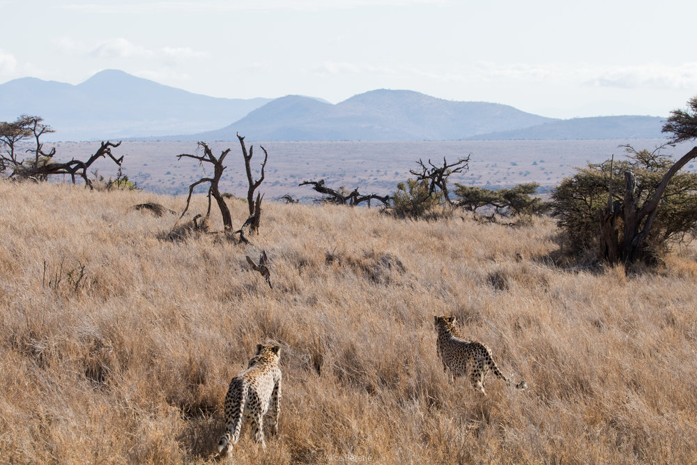 Cheetahs on Lewa, Northern Kenya, August 2017