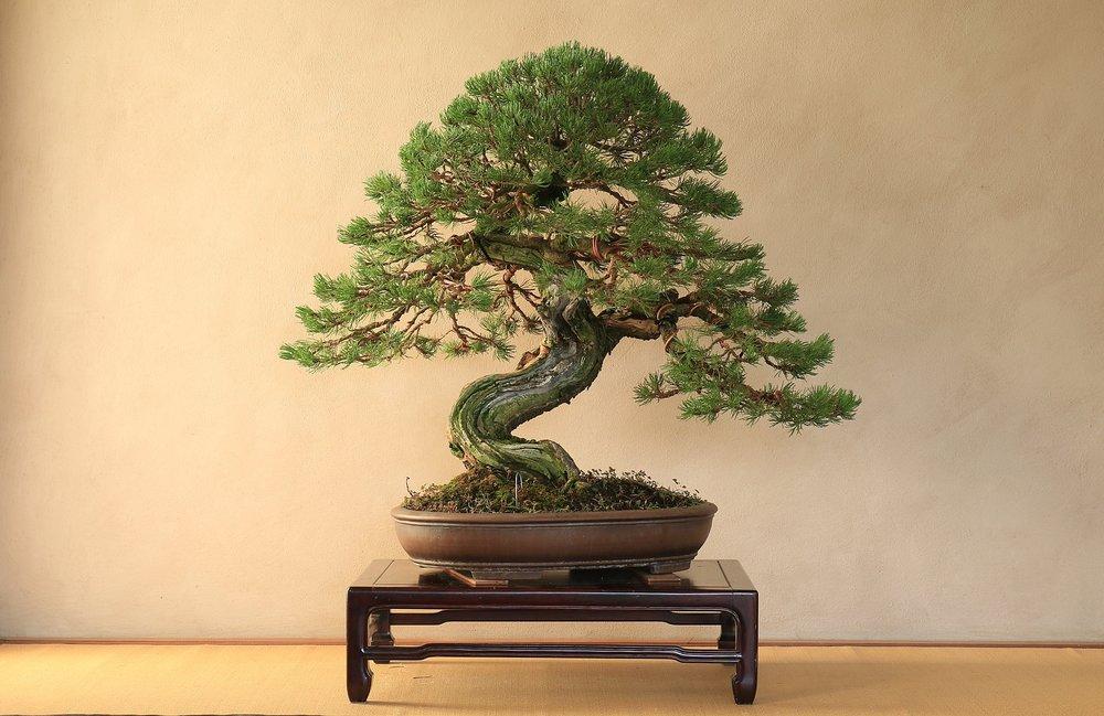 Pino Mugo stile moyogi;altezza: 80cm larghezza: 110cm   L'impostazione è stata fatta nel mese di Agosto (2018).  Sarà necessario aspettare un po' di tempo per lasciare che l'albero riacquisti la sua naturalezza.