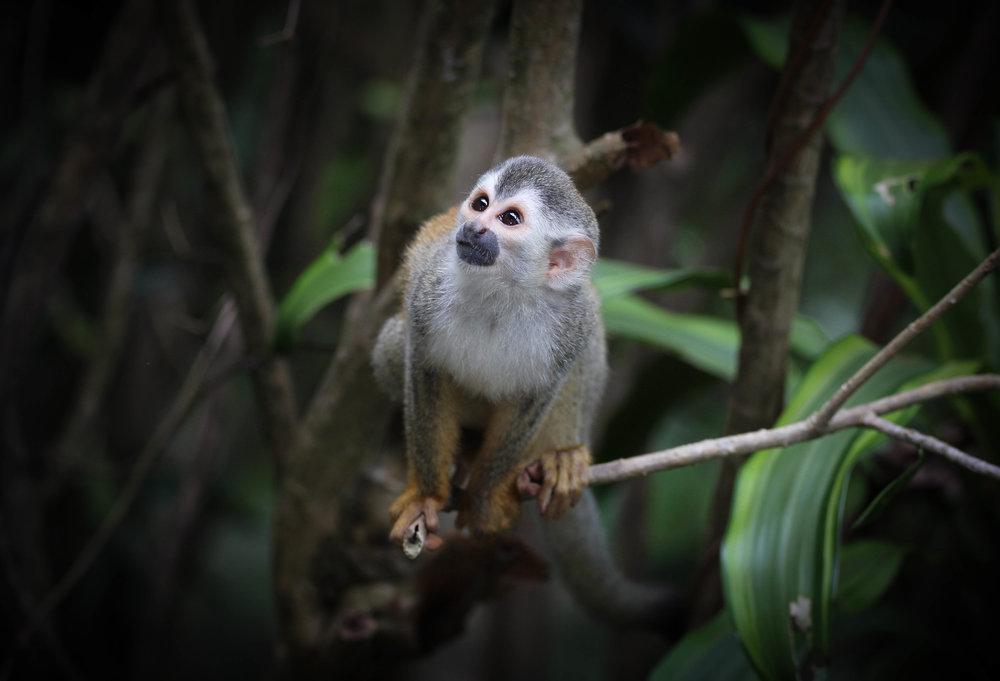 3-Squirrel Monkey.jpg