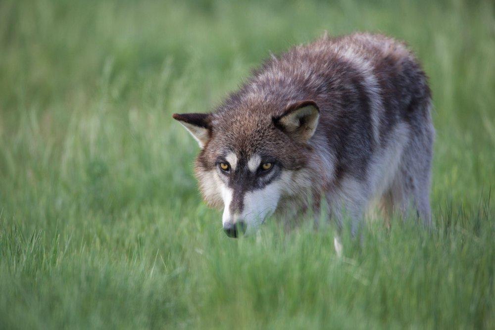 1-Wolf.jpg