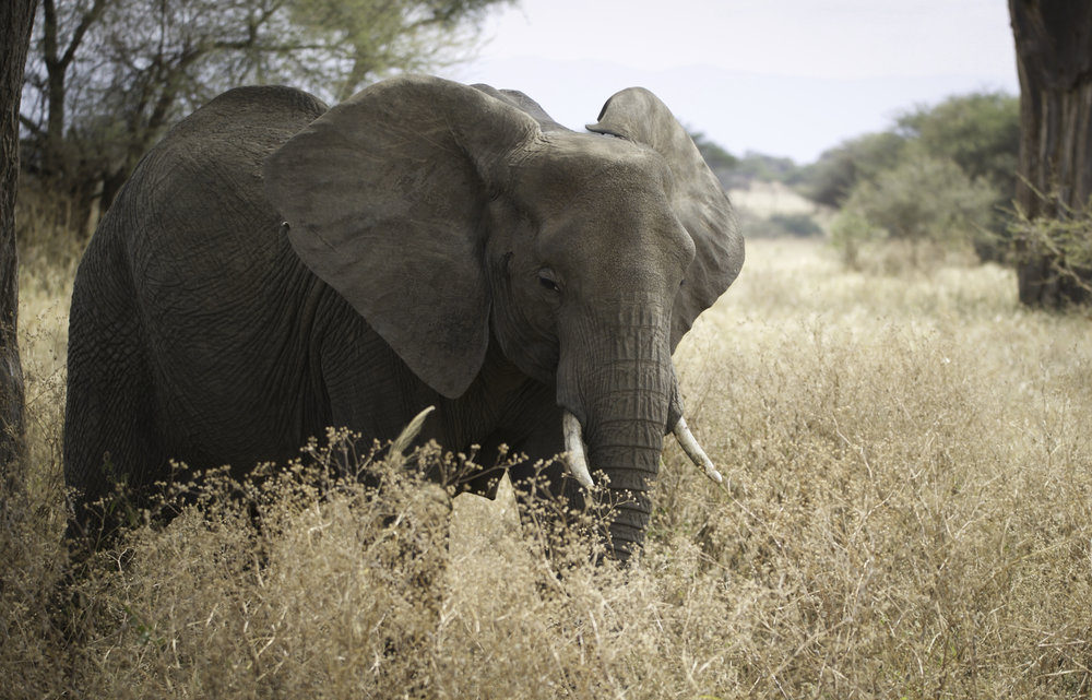 Elephant(1).jpg