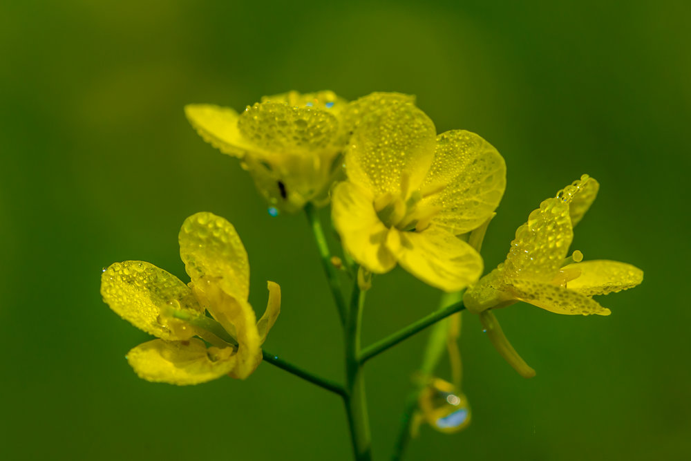 Flower_of_Mustard_Plant.jpg