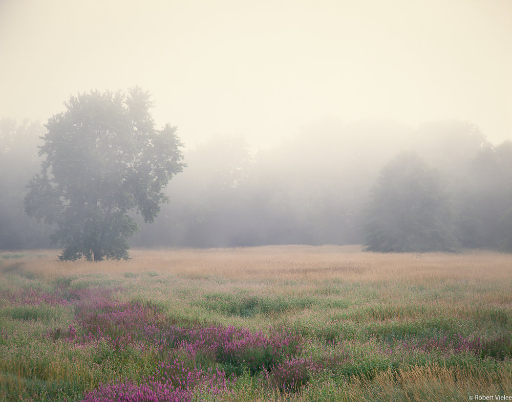 Loosestrife, Meadow, Lifting Fog