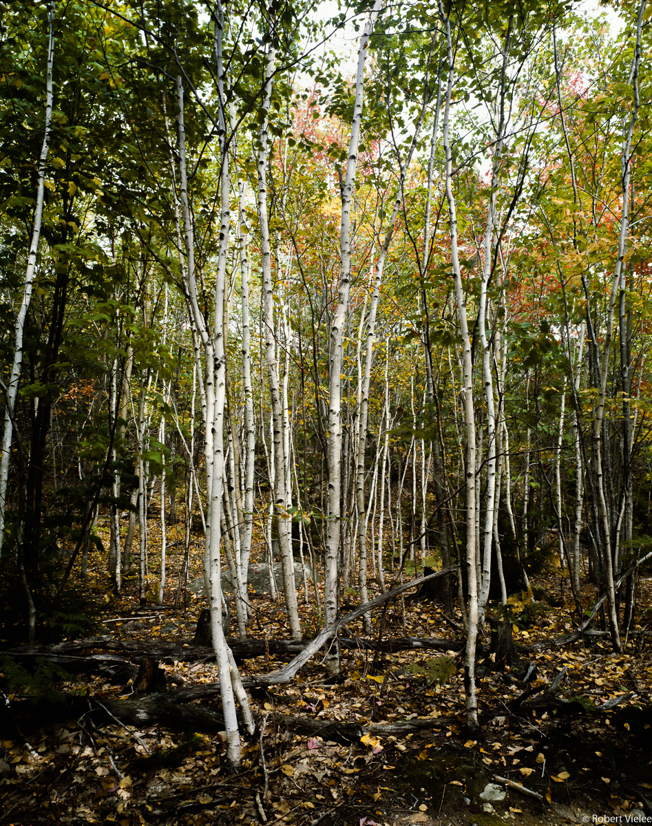 White Birch Grove of Mt Desert Island