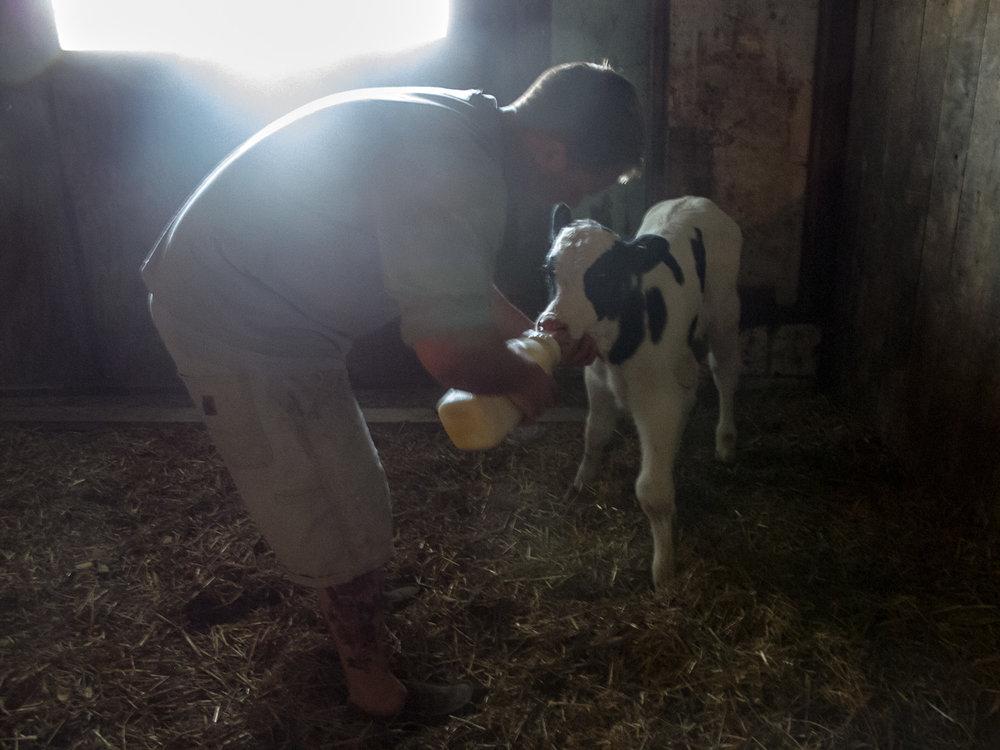Stephen, a Ronnybrook employee, feeds a newborn bull calf.
