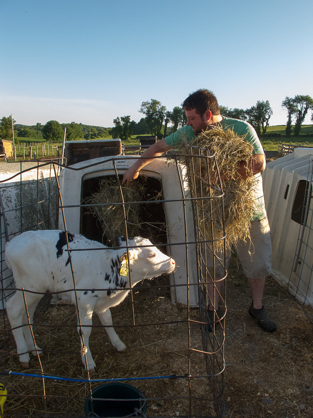 Dan fills a calf's hatch with fresh hay.