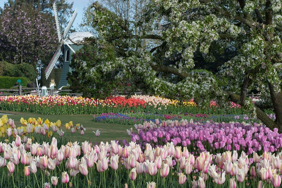 Not my photo, I borrowed from the Tulip Festival's Facebook Page!