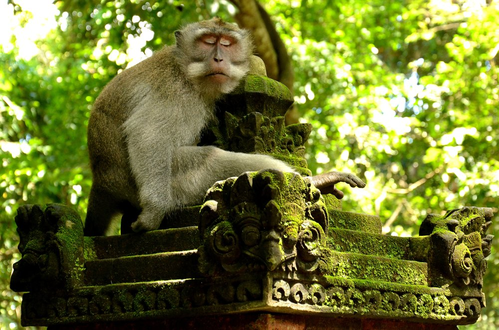 Ubud Monkey Forest is one of Ubud's most popular attractions; a natural forest sanctuary that is home to a horde of grey long-tailed macaques.