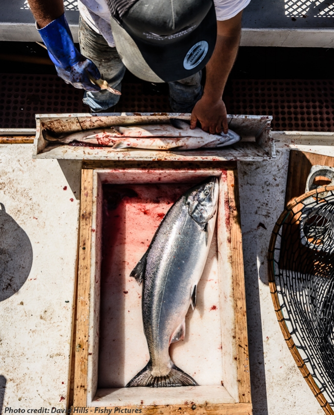 THE FISH HUB IN ACTION - Despite an incredibly short King salmon season this year, local fishermen from Santa Cruz still eagerly geared up and headed out to (hopefully) bring back boatloads of this high value fish. When the first catch started rolling in, buyers were paying $18/lb, but day after day as more and more fish were being landed, the supply outpaced demand and prices bottomed out at $6.00/lb – a fishermen can hardly make a living off of that.Hans Haveman, a first receiver who buys salmon from Santa Cruz's fleet of small scale fishermen, had accumulated close to 7,000 lbs of inventory to sell. Catching wind of the glut, MBFT's Roger Burleigh reached out to him and was able to broker a deal with a new high-end grocery store chain, Wild Roots Market, which bought over 100 lbs of whole fish at $10/lb over the weekend. Although this may be a drop in the proverbial ocean, anytime the full value of a local catch is realized we consider that a win. Hans gained a potential new customer and Wild Roots' sold truly local Monterey Bay caught salmon that they marketed as such to their customers.Learn more about our Fish Hub program here.