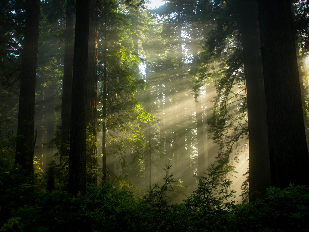 Sunbeams Through Redwoods, CA